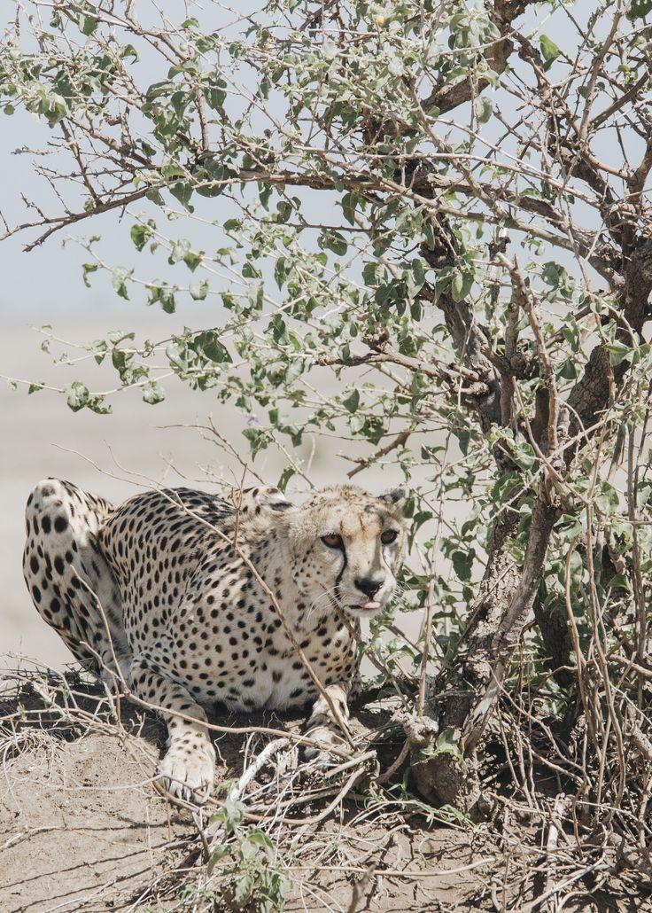 Cheetah in the Serengeti. Photo by Dani Knox Photo