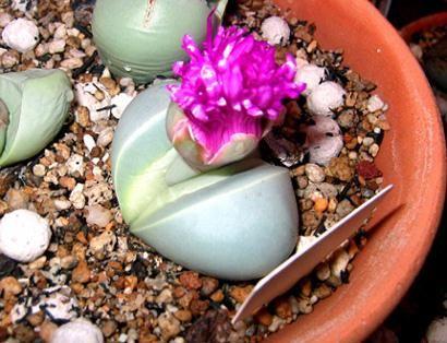 Argyroderma roseum