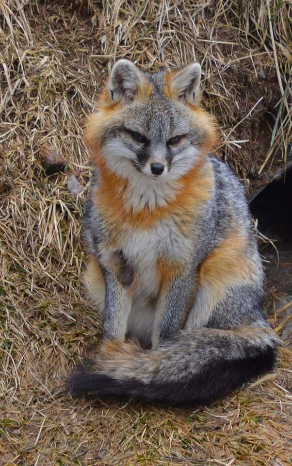 Adorable Baby Fox Legal To Adopt In Texas I Sooo Want One