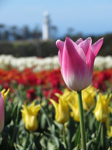 Tulips in full bloom at Table Cape. #tulips #tablecape #tasmania #discovertasmania Image Credit: LachieB1