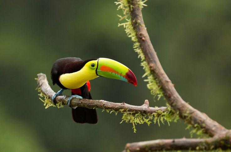 Keel billed toucan by Yehudi Hernandez - Photo 25932997 - 500px
