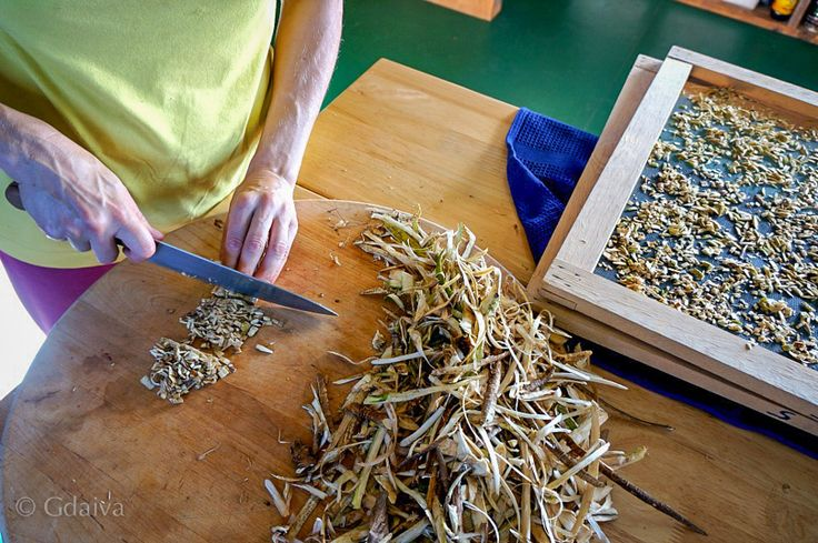 Preparing Devil's club for drying. Devil's club is powerful adaptogen from Ginseng family and its abundant in Alaska