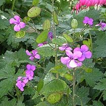 Lunaria annua - Honesty. Pretty flowers and gorgeous seed pods