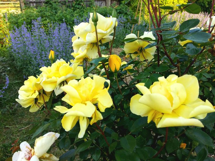 Nepeta Six Hill Giant and yellow rose
