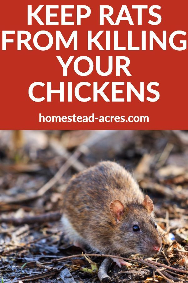 How To Keep Rats Out Of Your Chicken Coop   Getting rid of ...