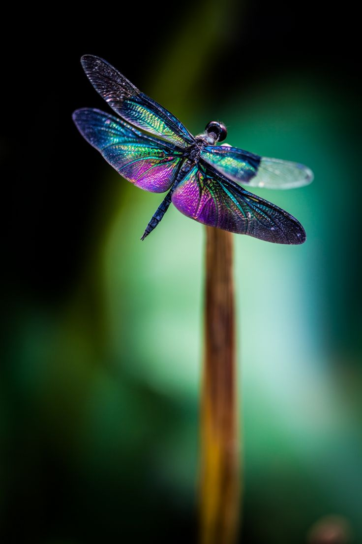"Dragonfly - sometimes they may suddenly come out of nowhere and linger around you for a time, even if it's just seconds. Someone is saying ""Hello"" to you. Be aware of these kind of messages. <3"