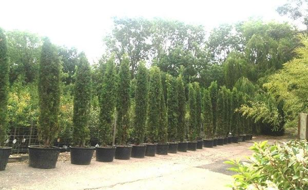 Thuja Brabant Trees for sale UK