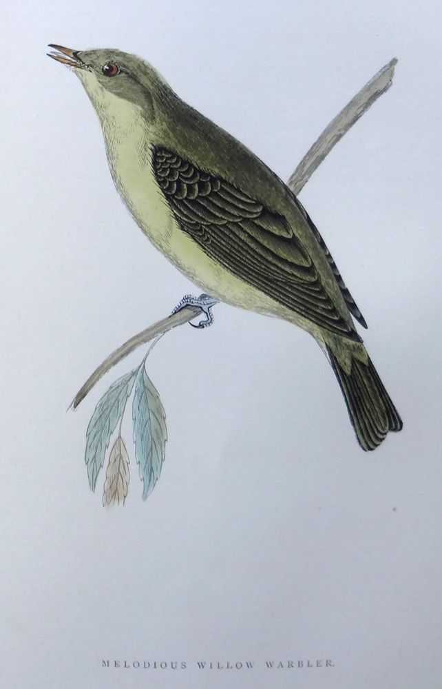 Morris Melodious Willow Warbler -1892 History of British Birds Wood Engraving #Vintage123yearsold