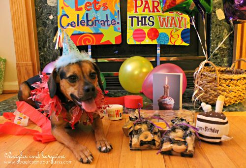 Luna couldn't wait to cele-bark her 3rd birthday with Three Dog Bakery | Beagles and Bargains