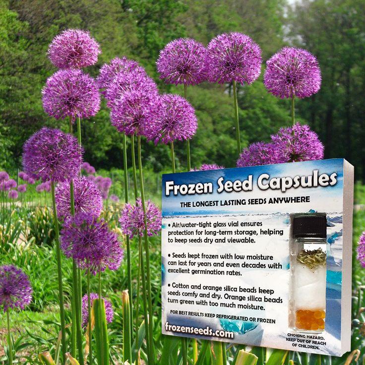 Mauve Garlic Chives Seeds (Allium tuberosum) + FREE Bonus 6 Variety Seed Pack - a $35 Value!
