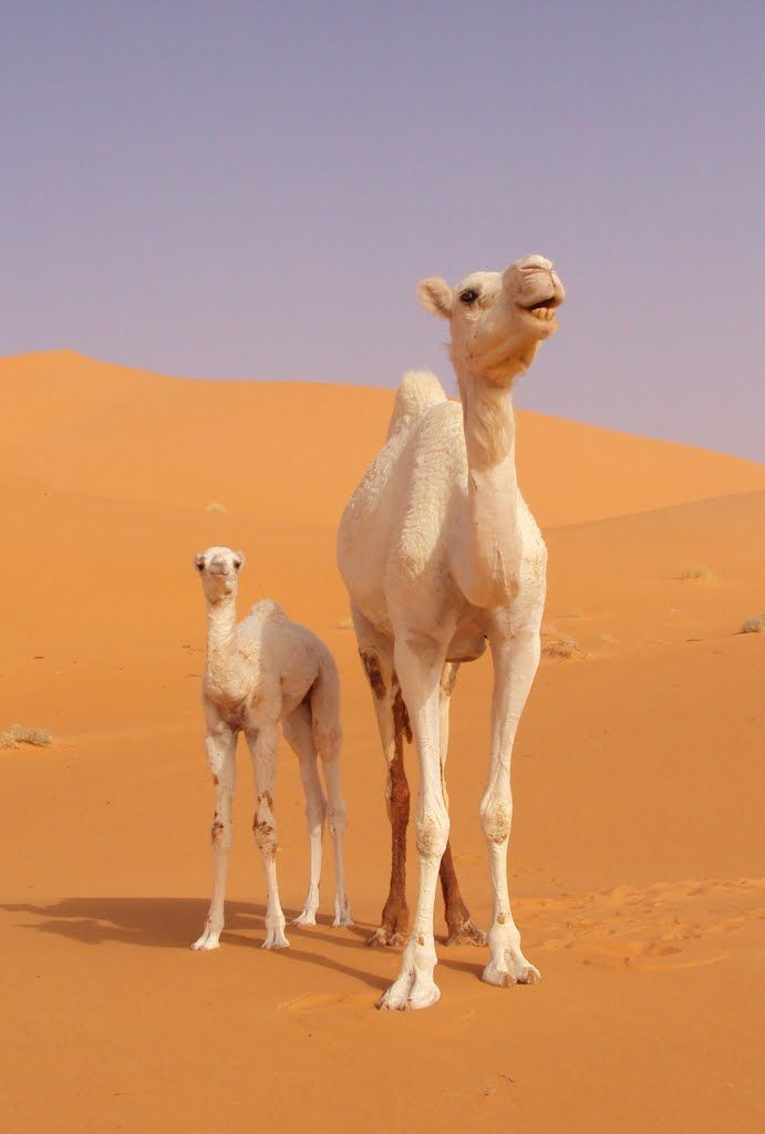 Camel mother and baby. So sweet.