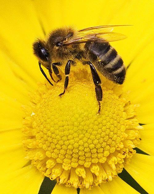 Abelha de verdade sugando pólen #abelhas