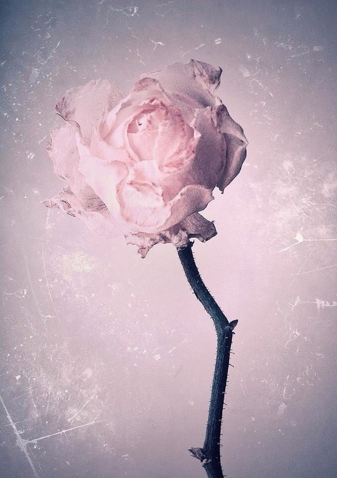 Rose, iPhone, art