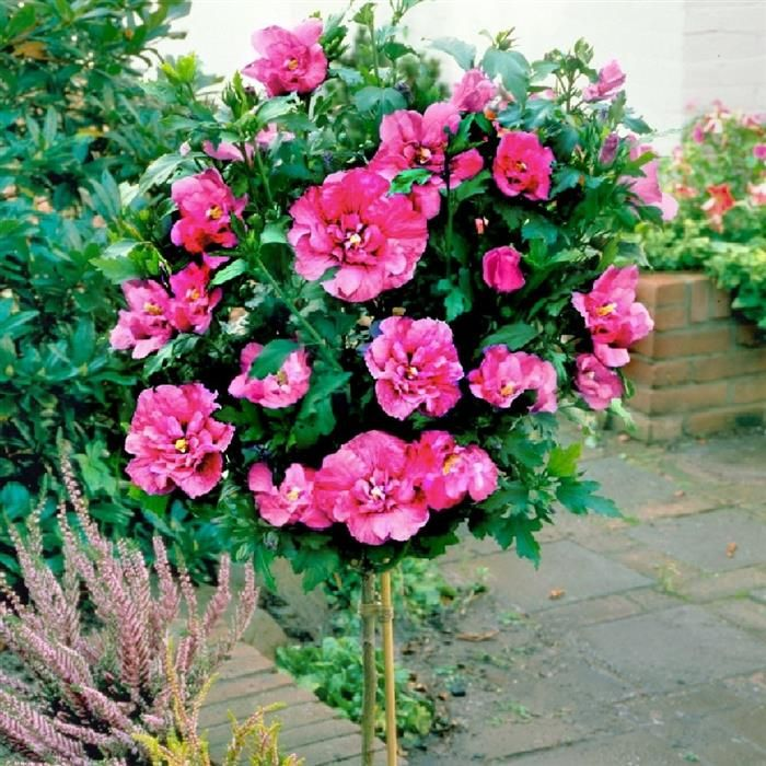 Hardy Rose Hibiscus Tree. Drought resistant. Not soil picky. Full sun or part shade. $19.95 per tree. ( These would be pretty on the West side of my home)