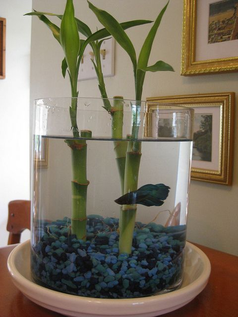 I'm doing this one and have the perrrfect glass. All I need is my perrrfect stones, yellow natural of course, and my perrrfect Betta Fish. SweetT can do this! ~T    Well, mine is done. Complete with a couple more shoots  I already had and thermometer. Oh, and he is purple red in color. Picture coming...i made one and it was easy to do. It is on here, Pintress as well. Look for it!