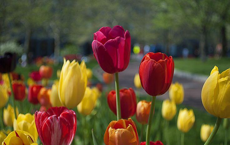 Kolorowe, Tulipany