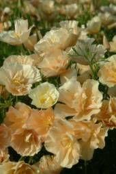 Poppy California Thai Silk Champagne - Sow Late Spring & Early Summer - HA 25cm