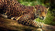 Jaguar, kaplan ve aslandan sonra en büyük üçüncü kedisi olarak bilinir. Batı yarımkürenin en güçlü ve en büyük kedisidir. Şimdilerde Meksika'dan (bazen ABD'nin güneybatısında da görülebilir) Orta Amerika'ya ve Paraguay'ın güneyi ile kuzey Arjantin'e kadar dağılan bir alanda yaşarlar.