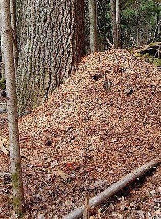 Very high and broad midden that was created by pine squirrels called Douglas's squirrels. (hthrd / Flickr; cc by 2.0)