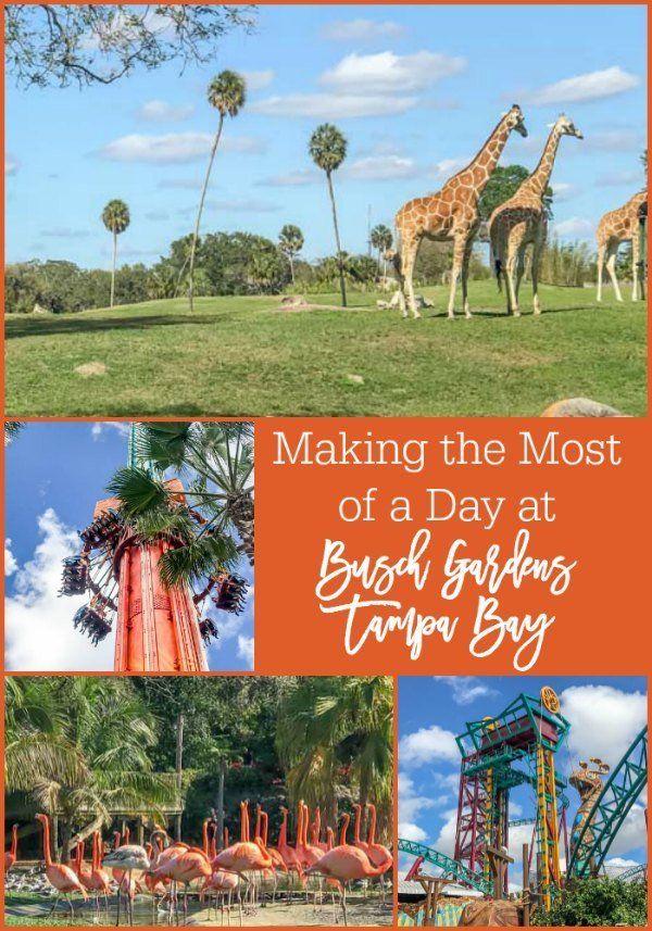 Sacar el máximo partido de un día en Busch Gardens Tampa Bay, incluyendo paseos, las interacciones de los animales, comida y más.