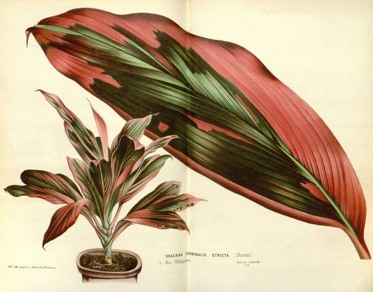 Cordyline fruticosa - circa 1845