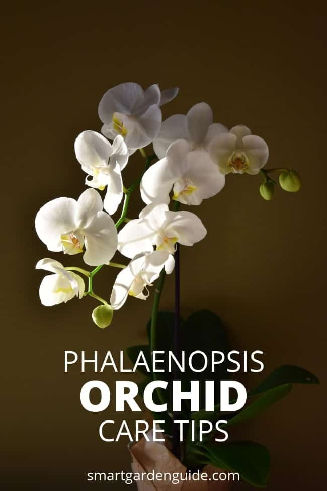 Phalaenopsis Orchid Care For Beginners Easy Guide With Images