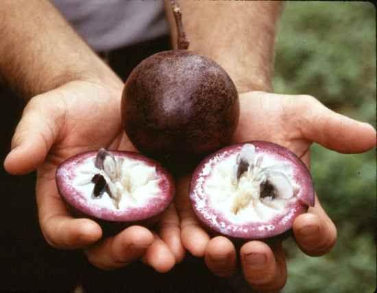 A Estrela Apple - Crysophlum Cainito - é uma fruta nativa das áreas da América Central e nas Índias Ocidentais. A parte inferior apresenta uma cor dourada. Apresenta flores roxas com uma fragrância doce. O fruto é redondo.  A fruta apresenta um intenso sabor doce.