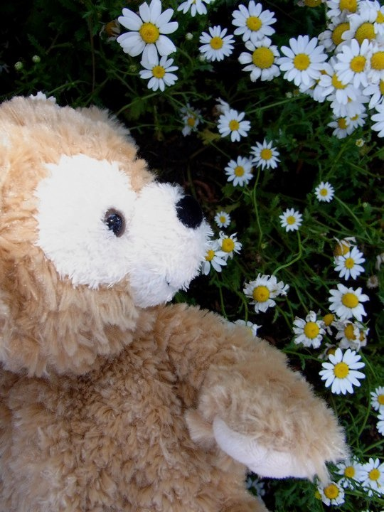 Duffy with small daisies