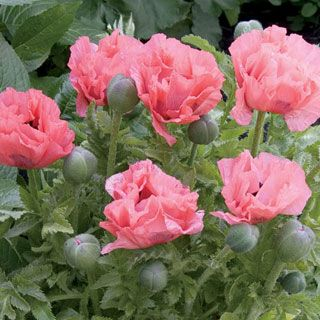 A compact, short-stemmed Oriental Poppy with lavender-pink blooms.