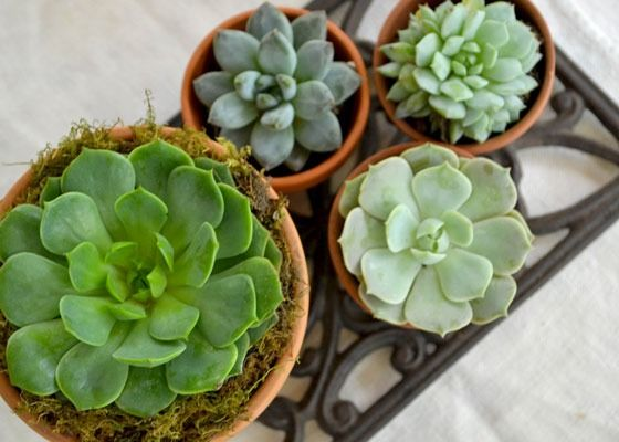 From starter plant to floral wedding fashion, succulents have stepped beyond trendy into the established category of versatile, collectible and downright addictive plants. Learn more about succulents at The Home Depot's Garden Club.
