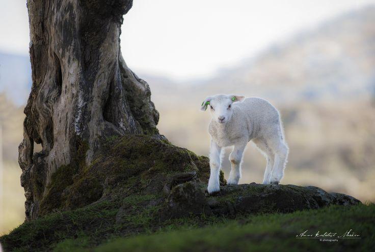 Lamb by Anne Kolstad Morken on 500px