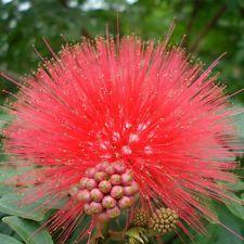 Albizia Julibrissin tres semillas, Mini En Maceta Bonsai Árbol semillas, hágalo usted mismo Casa Jardín B