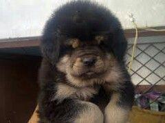 Tibetin mastiff. So cute