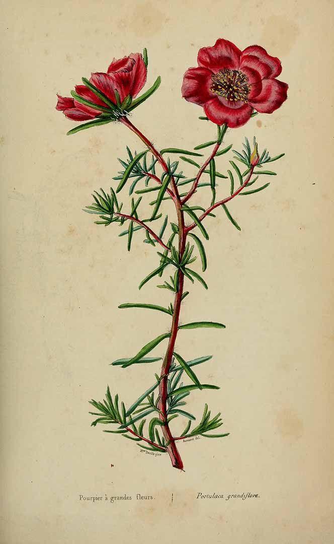 Portulaca grandiflora Hook. Loiseleur-Deslongchamps, J.L.A., Herbier général de l'amateur. Deuxième Série, (1839-50). Illustration contributed by Natural History Museum, London, U.K.