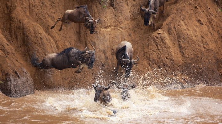 Intense Wildebeest Migration Photos by Mark Bridger