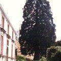 Mammutbaum Bergmammutbaum Sequoiadendron giganteum, Schneiden Pflege Pflanzen Bilder Fotos Garten