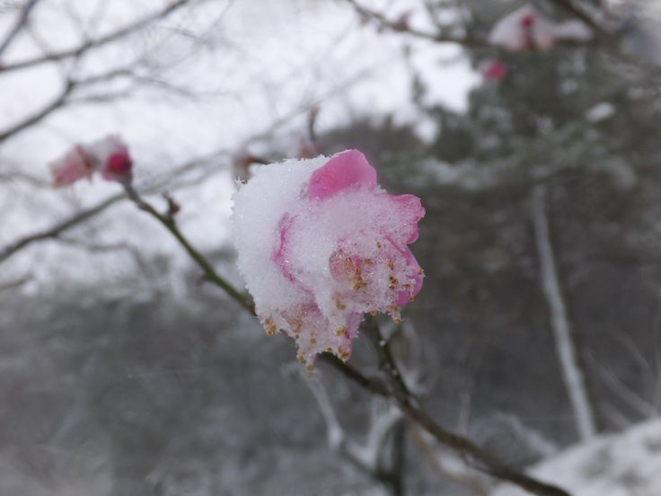 雪と梅(その14)