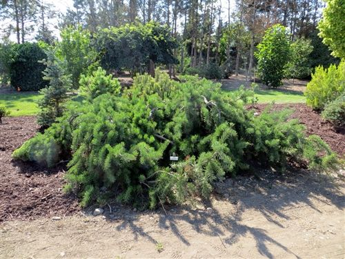 Pinus banksiana 'Bush's Twister' - Bush's Twister Jack Pine - Buy at Conifer Kingdom