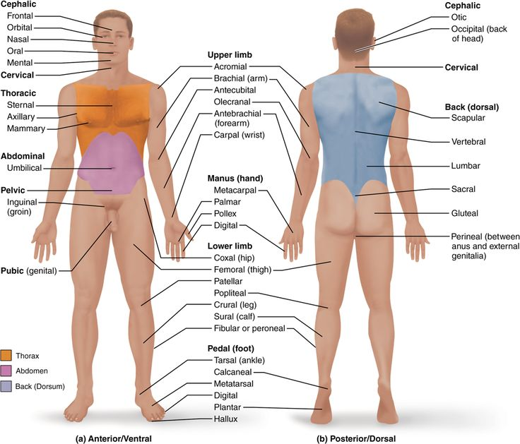 15 anatomical terms describe body directions regions and planes 15 anatomical terms describe body directions regions and planes human anatomy and physiology anatomy pinterest human anatomy anatomy and planes publicscrutiny Images