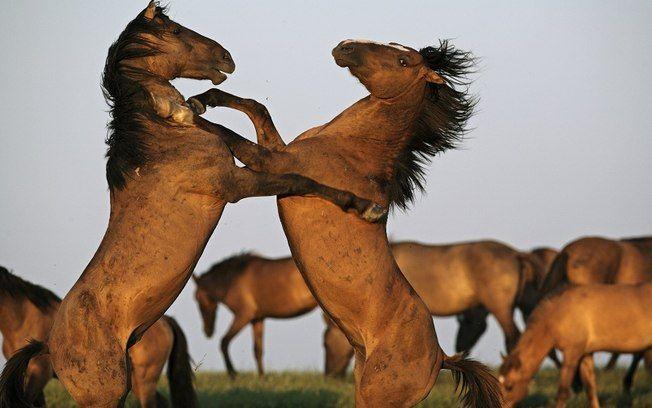 Animais se enfrentam em um centro de conservação de cavalos selvagens nos EUA