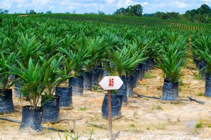 """FACT FILE – Indonesia world leader in palm oil production http://www.trust.org/item/20130709022623-zilwy/ """"Potential benefits come at the expense of Indonesia's natural forests. At least half of the 8 million hectares of currently productive plantations have been developed through prior deforestation."""" We must break the link between palm oil and deforestation."""