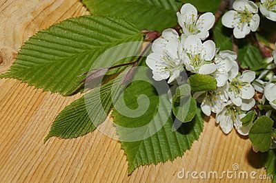 Spring white flowers and green leaves