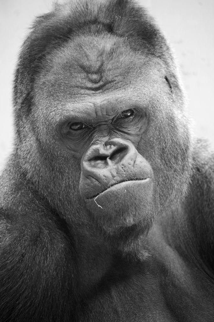 """Damn kids!""  Extraordinary Gorilla Photography | Abduzeedo Design Inspiration"