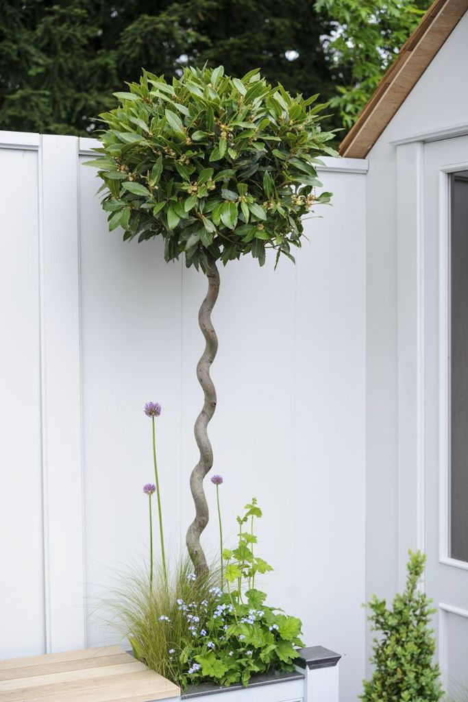 Trees for small gardens: Laurus nobilis, the bay tree, will grow to 12m as a tree, but can be kept small when topiarised, especially in a container. Find out more at http://www.gardenersworld.com/plants/laurus-nobilis/3548.html Photo by Jason Ingram.