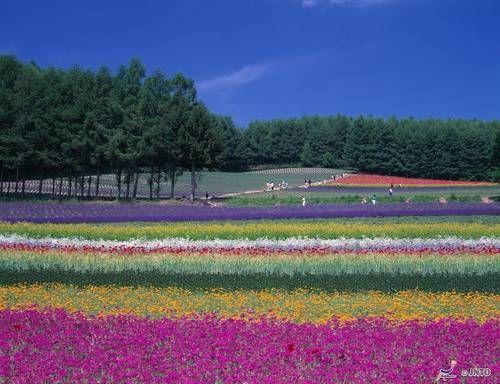 Virágok mezők Furano, Hokkaido 2