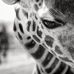 I've become obsessed with giraffes lately...their so refined...