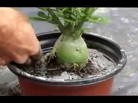 Neste vídeo do TV Sítio, você vai ver o grande segredo da adubação em orquídeas. Gerson Calore da Biorchids mostra como ele faz o tratamento químico nas plan...