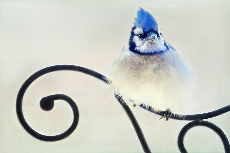 Blue Jay by Shauna Kenworthy on 500px