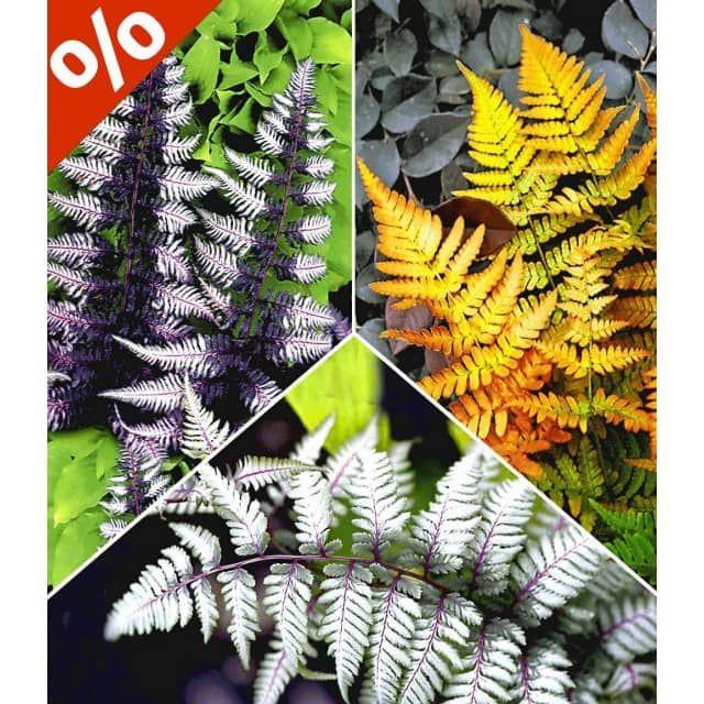 Japanische Schmuck-Farn-Kollektion, 3 Pflanzen - BALDUR-Garten CH