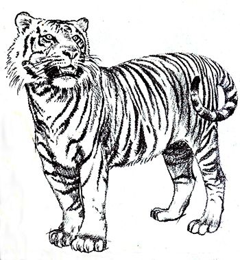 Drawing - The Tiger Appearance
